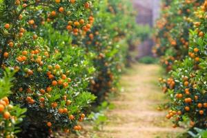Kumquat-bonsai