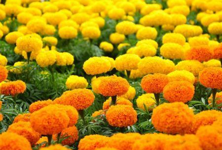 La-fleur-de-mille-ans