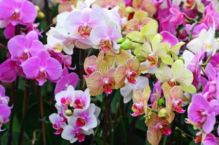 Les-orchidees