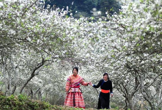 fleurs de prunier de moc chau