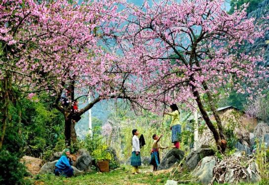 saison des fleurs de prunier.jpg